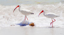 Ibises In The Surf by Mike Darrah