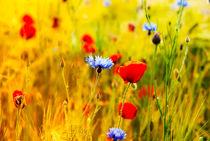 Poppies von fraenks