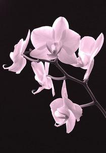 Orchideenzweig von balticus