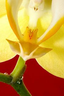 Orchideenblüte von balticus