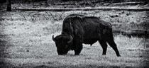 Yellowstone Bison von Ken Dvorak