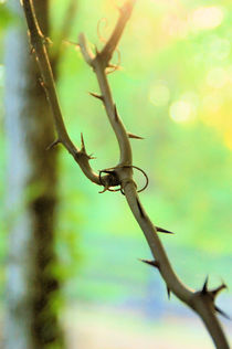 Thorns by Amanda Starr