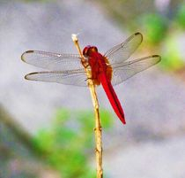 A pretty red dragonfly wonderful to look at especially framed von Vitul Agarwal