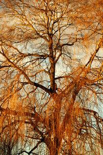 Trauerweide im Winterkleid by Heidrun Lutz