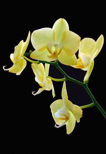 Gelbe Orchidee von balticus