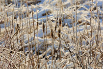 Ice Coated Bullrushes von Louise Heusinkveld