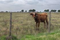 Da Brown Cow von agrofilms