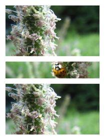 Ladybug by Sabine Cox