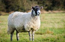 The-interrupting-sheep-dot-dot-dot-jeremy-sage