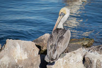 Pelican In The Sun by agrofilms