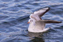 Seagull by Florentina Necunoscutu de Carvalho