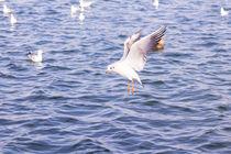 Flying seagull by Florentina Necunoscutu de Carvalho