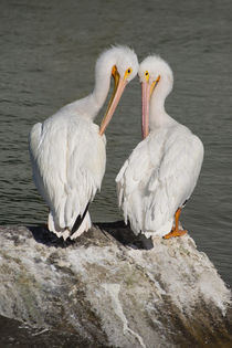 Pelican Love by agrofilms