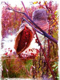 Milkweed by Sabine Cox
