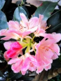 Rhododendron by Sabine Cox