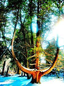 Cedar by Sabine Cox