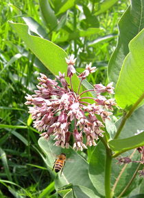 Milkweed with Bee by Sabine Cox