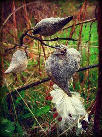 Milkweed 2 by Sabine Cox