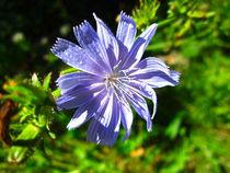 Wild Chicory by Sabine Cox