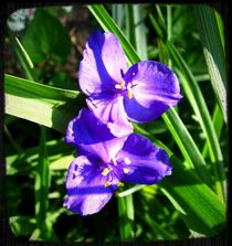 Spiderwort by Sabine Cox