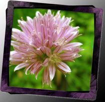 Chive Flower by Sabine Cox