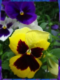 Pansies by Sabine Cox