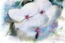 White Hydrangeas von bob galka