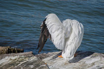 Shy Pelican by agrofilms