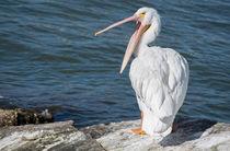 Pelican-yawn