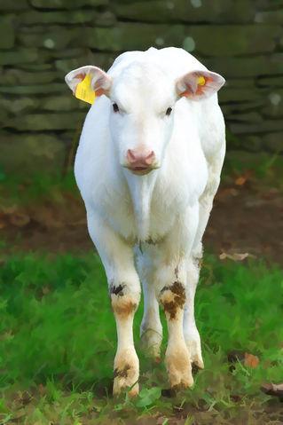 White-calf0191