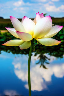 The Lotus Blossom by Jon Woodhams