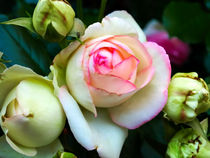 White - Pink- Roses by madle-fotowelt