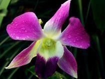 Macro Orchidee von Sven  Herkenrath