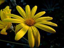 Gelbe Macro Blüte von Sven  Herkenrath