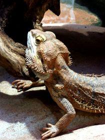 Exotisches Reptil von Sven  Herkenrath