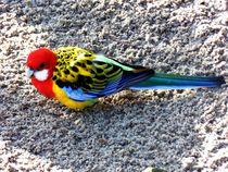 Papagei von Sven  Herkenrath