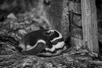 Magellanic Penguin, Spheniscus magellanicus, b/w by travelfoto