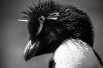 Rockhopper Penguin, Eudyptes chrysocome, black and white by travelfoto