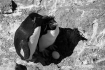 Rockhopper Penguin, Eudyptes chrysocome, black and white von travelfoto