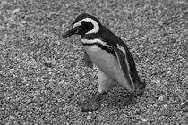 Magellanic Penguin, Spheniscus magellanicus, b/w by travelfoto
