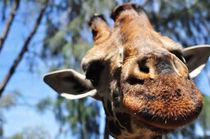 Giraffe by Hannah Flint