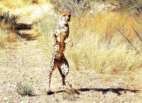 Gepard-cheetah-stehend-1