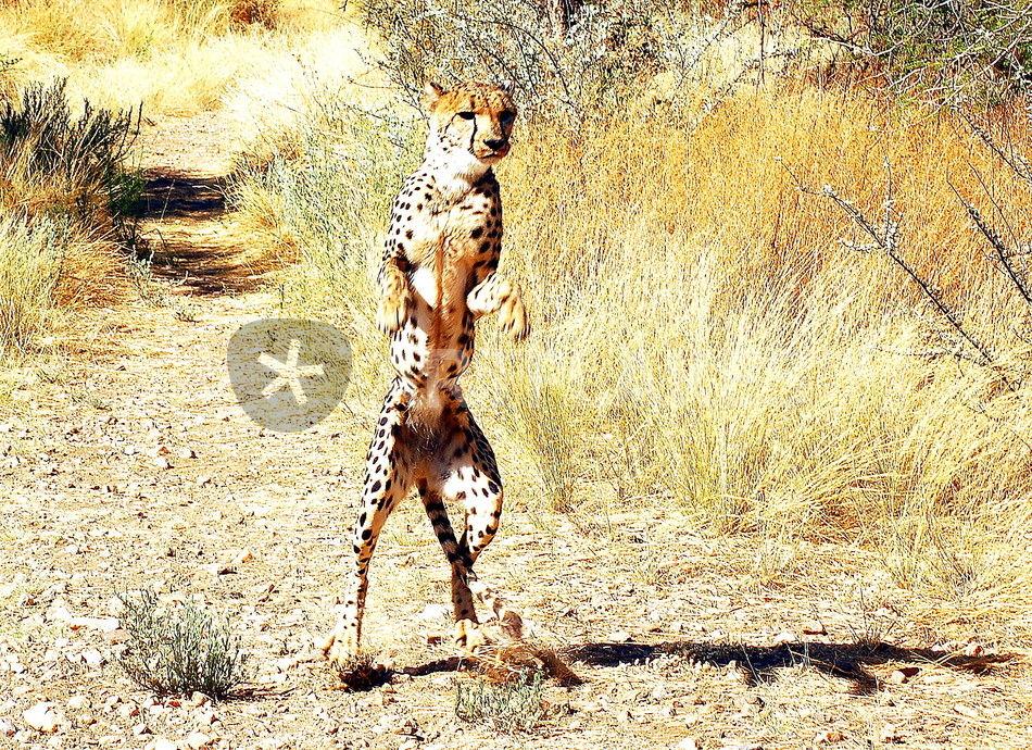 quotgepard in namibia african cheetah standing quot fotografie
