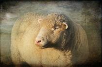 Merino Sheep by Pauline Fowler