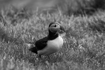 Atlantic puffin (Fratercula arctica), Papey Island by travelfoto