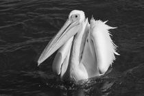 Pelican in black and white von travelfoto