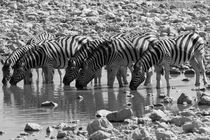Zebras at a waterhole in Etosha national park, Namibia by travelfoto