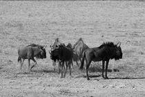 Gnu Herde im Etosha Nationalpark, Namibia von travelfoto
