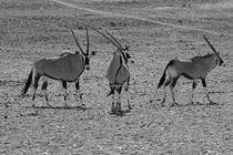 Oryx Antilopen s/w by travelfoto