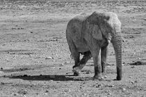 Elefant in Etosha National Park, b/w by travelfoto